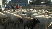Les moutons d'Ouessant regagnent les enclos (Ile d'Ouessant)