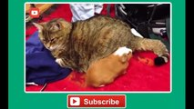 Funny cat vines - Ultimate funny vines with cats compilation 2014 - Funny Videos (720p)