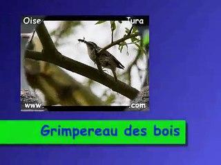 Grimpereau des bois N