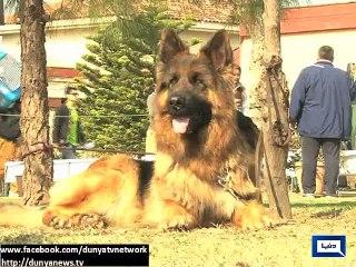 Dunya News: German Shepherd Dog show organised in Islamabad