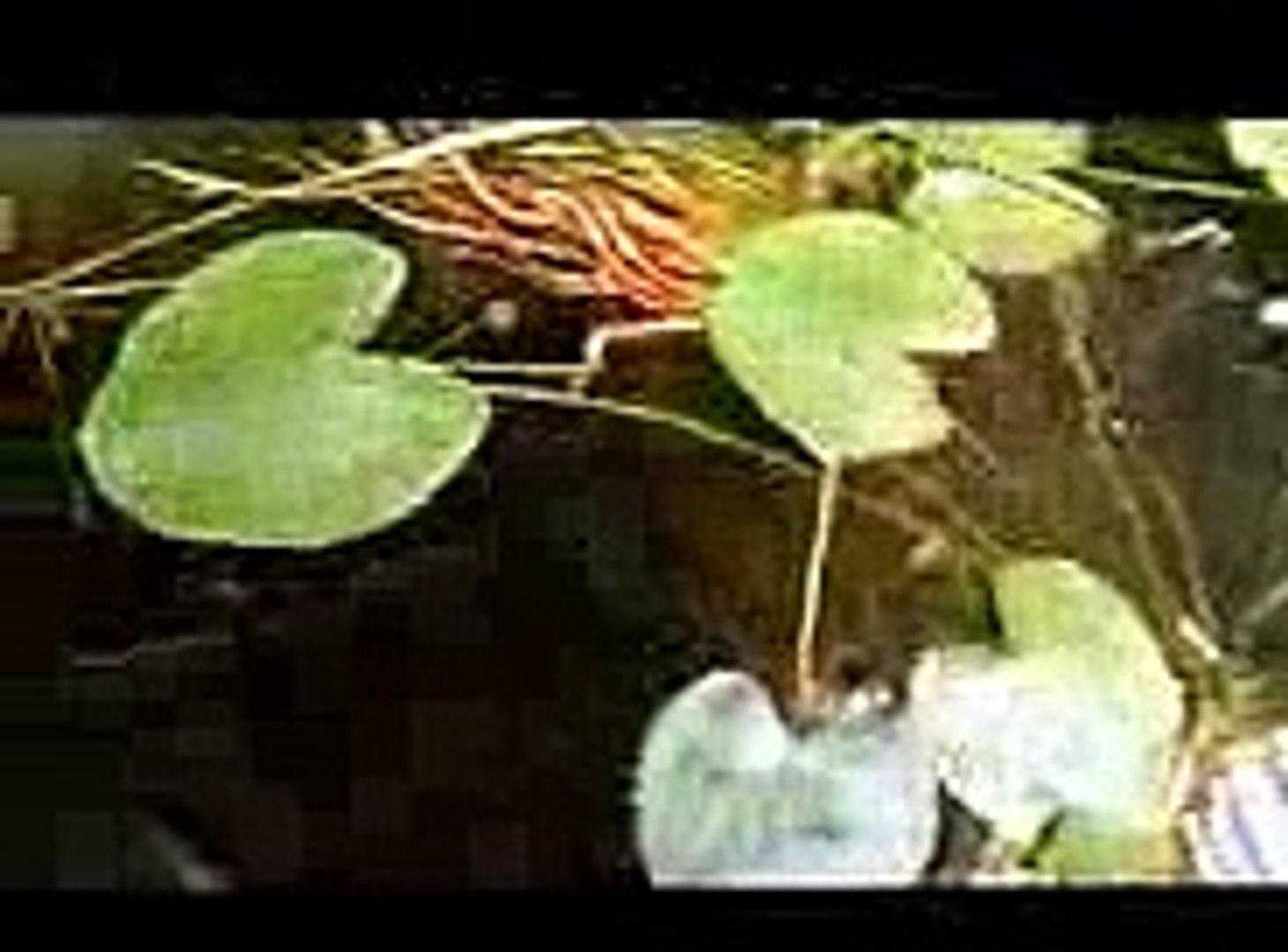 Criação peixe ornamentais, Platy, Molinésia, Guppy