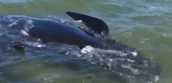 Plus de 200 baleines échouées en Nouvelle-Zélande