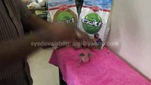 Hand Feed Butter Cup Indian Ring Neck Parakeet Chicks of Syed Ovais Bilgrami