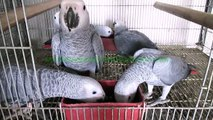 Congo African Grey Parrots 6 Month Chicks of Syed Ovais Bilgrami