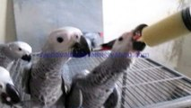 Congo African Grey Parrots Hand Feed Chicks of Syed Ovais Bilgrami