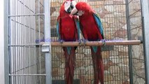Green Winged Macaw Bonded Pair of Syed Ovais Bilgrami
