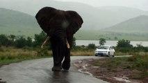 Big Big Big Elephant Walks