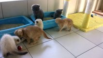 satilik Scottish Fold british shrthair kedi yavruları