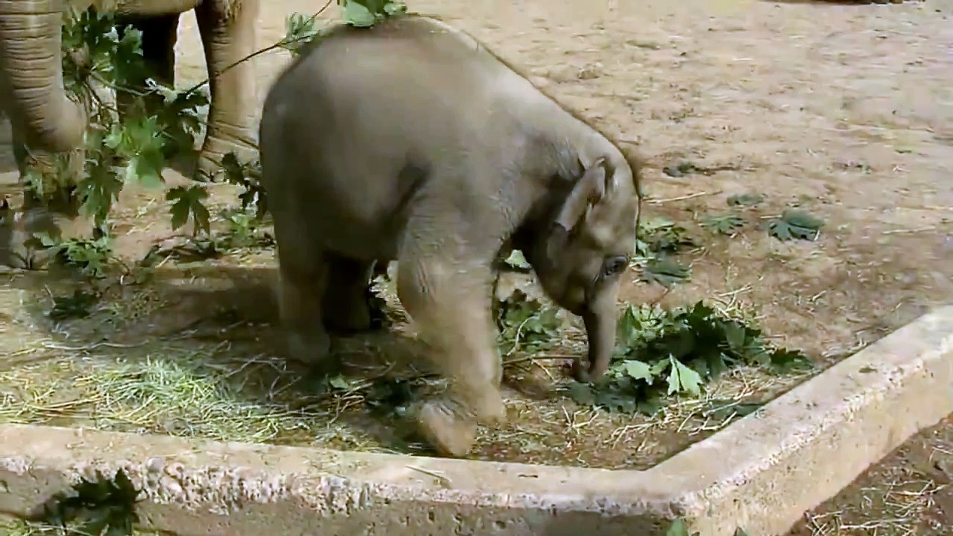 Cute baby elephant's first steps, cute video!