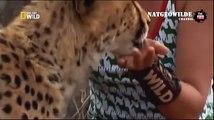 Cheetah attacked reporter. Cheetah attack the people! - Animal Attacks on Human  - Nat Geo Wild ™