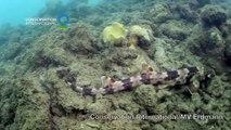 85# Un requin qui marche avec ses nageoires le Hemiscyllium Halmahera