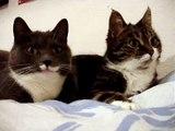 FUN - Deux chats parlent ensemble