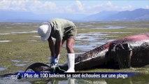 Deux cents baleines s'échouent sur une plage de Nouvelle-Zélande
