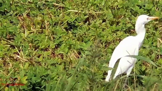White Heron Bird Hunting With Air Rifle