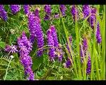 Video della Fioritura di Castelluccio di Norcia