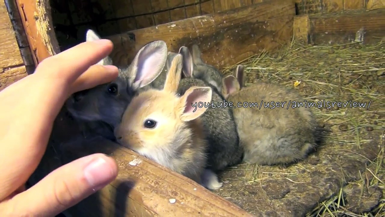 Baby Flemish Giant Bunny Rabbits
