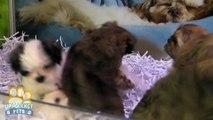 Maltese x Shih-tzu puppies
