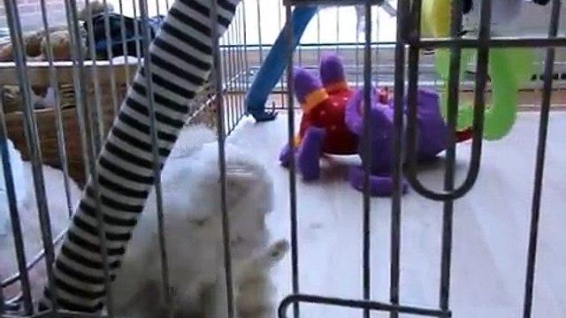 Maltezer.nl: Maltezerpups 35 dgn oud, maltese puppies 35 days old