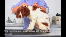 castration de chien