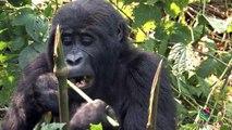 Wild mountain gorillas in Bwindi Impenetrable Forest, Uganda