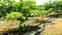 Ultra High Density Plantation in Mango - video dailymotion
