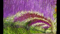 wisteria flower tunnel in japan | Amazing places in the world | Amazing places in Japan
