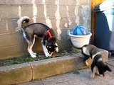 Siberian Husky and German Shepherd puppy playing in the yard