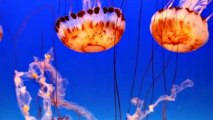Des méduses fascinantes méduses à l'aquarium de Monterey Bay