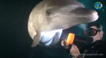 Un dauphin demande de l'aide à un plongeur