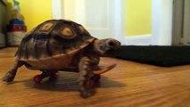 Une tortue fait du skateboard