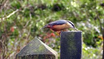 Gate Post Birds - Nuthatches, Coal Tits and Great Tits