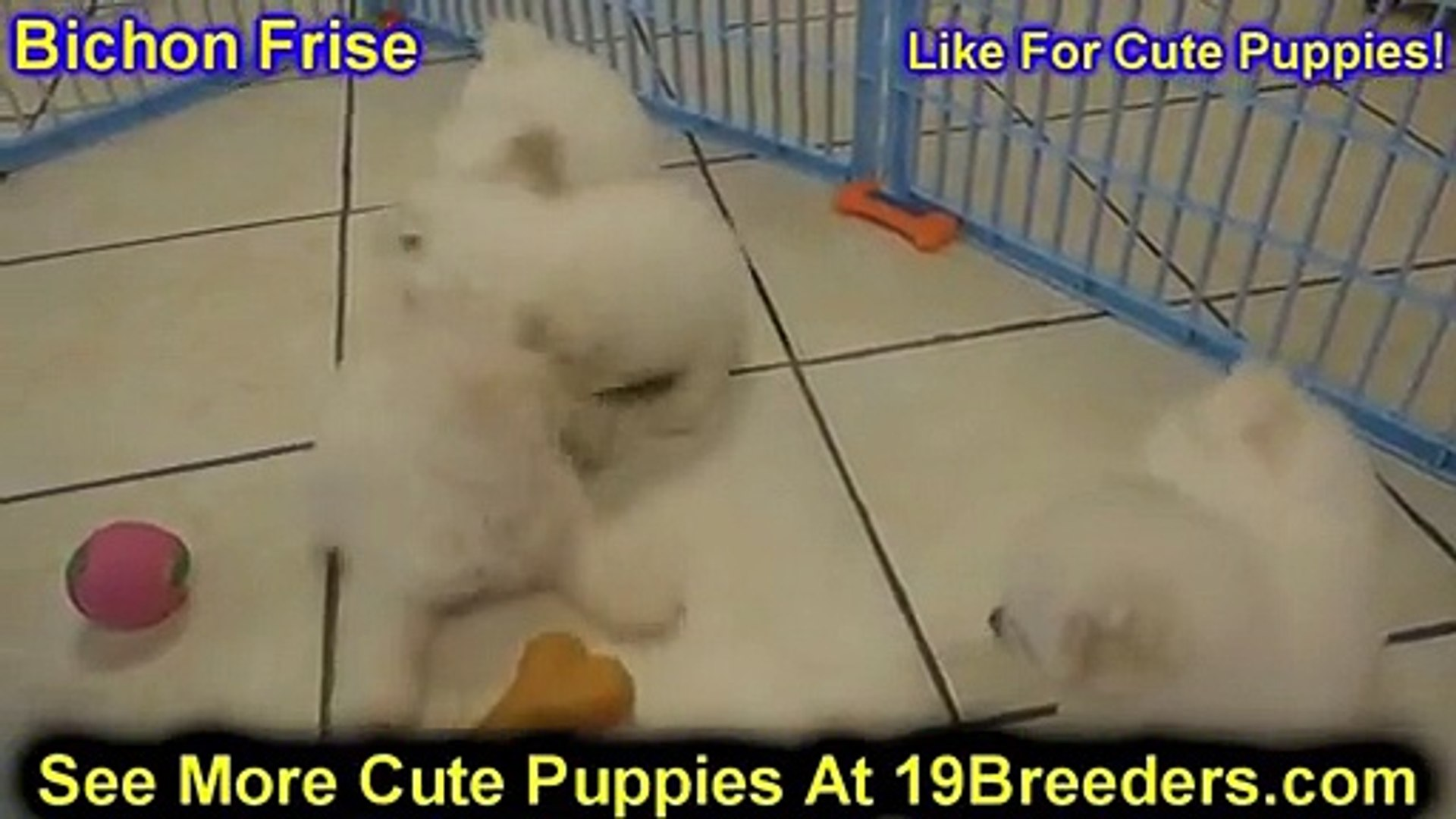 Bichon Frise, Puppies, For, Sale, In, San Jose, California, CA, Ontario,  Santa Rosa, Rancho Cucamong