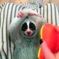 Un petit singe loris se fait brosser le ventre et c'est super bon...