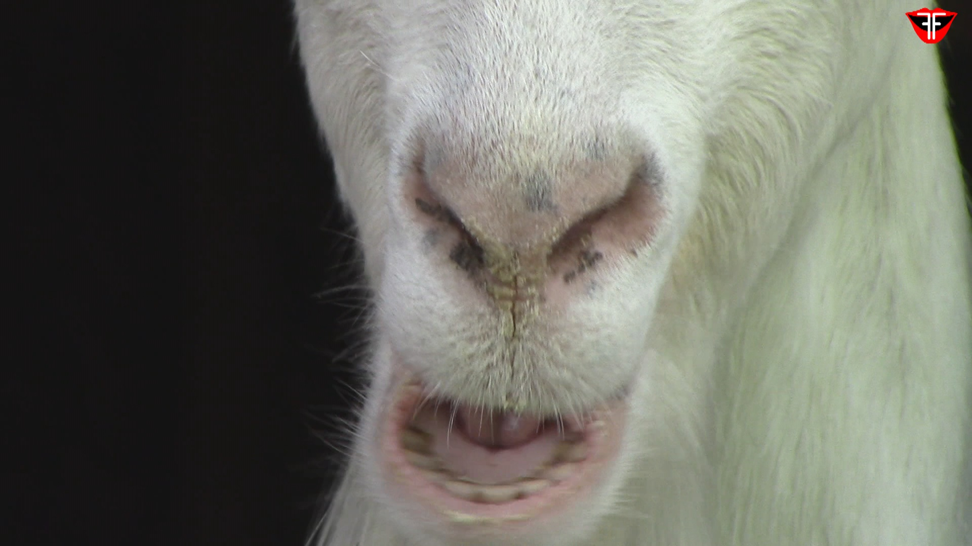 Chewing goats
