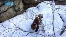 des pandas roux adorables jouent dans la neige !