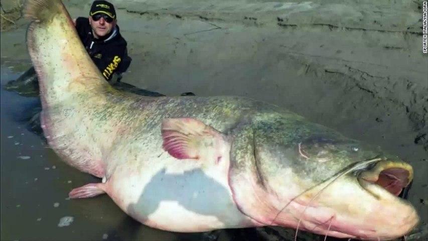 Un poisson-chat de 127 kg pêché dans le Pô