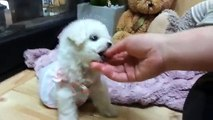 Doll faceTeacup Bichon Frise Puppy! Teacup Bichon Frise! Micro Teacup Puppy for sale