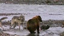 Ours VS Loups : un grizzly attaque 4 loups pour un repas!