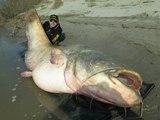 Un silure géant de 127 kilos pêché en Italie