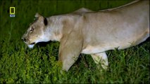 Alone Lioness versus 12 hyena Fight to Death - Lions fighting to death