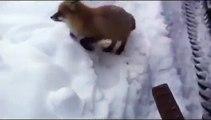 Fox and Chocolate Story ! - Лиса пришла к людям за Шоколадом !