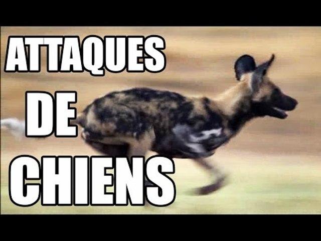 ATTAQUES DE CHIENS - ZAPPING SAUVAGE