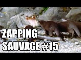 Des loutres plus fortes qu'un crocodile ! - ZS n°15