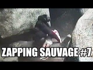 Une gorille sauve la vie d'une enfant - ZS n°7