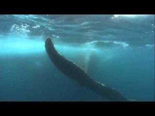 Antarctique, danse avec les baleines - Thalassa (extrait)