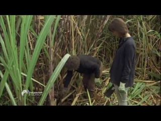 La culture de la canne à sucre - Faut Pas Rêver à la Réunion (extrait)