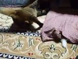 lol Blower to the funny cat (pet kitty kitten animal video movie )