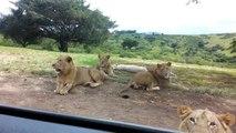 Un lion ouvre la porte d'une voiture pendant un safari