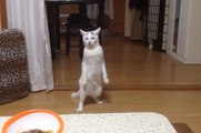 The Ultimate Cats Walking Like Humans Compilation