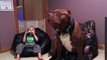Le plus gros chien du monde est aussi un mélomane chanteur!